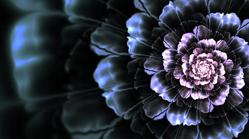 WP - Black Dahlia