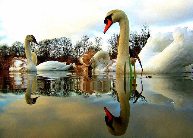 5x2 swans.....