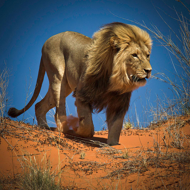 King of the Kalahari Desert
